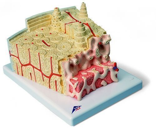 Model struktury kości 3B MICROanatomy - 80 razy powiększony A79