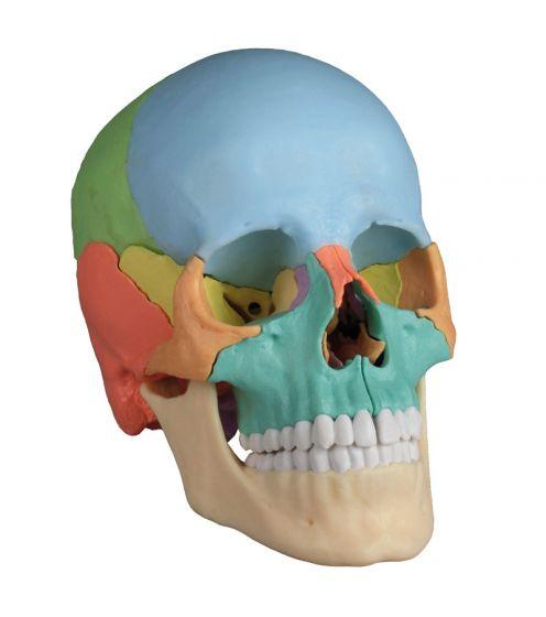 Dydaktyczna czaszka osteopatyczna, 22-częściowa, R 4708 Erler Zimmer