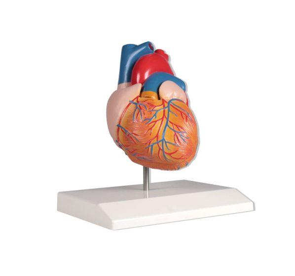 Model serca naturalnej wielkości 2 części, Erler Zimmer