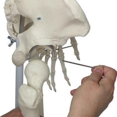 Model ludzkiego szkieletu Stan, zamontowany na stojaku o czterogwiezdnej podstawie A10