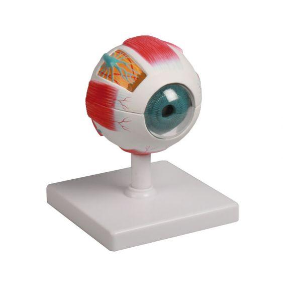 Model oka, powiększony 4 razy, 6 części, Erler Zimmer
