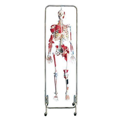 Model szkieletu fizykoterapeutycznego W47001