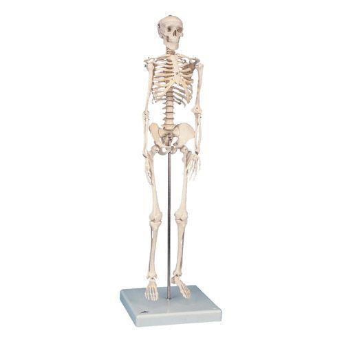 Model mini-szkieletu W10530
