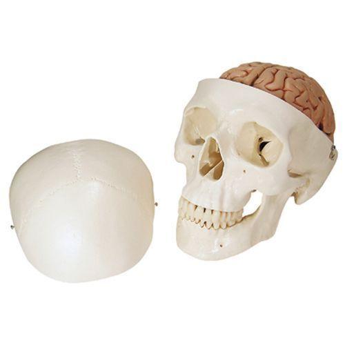 Klasyczny model czaszki z mózgiem A20/9