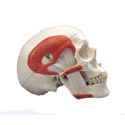 Model czaszki TMJ A24