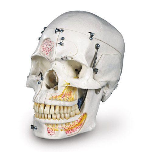 Luksusowy model dentystyczny czaszki A27