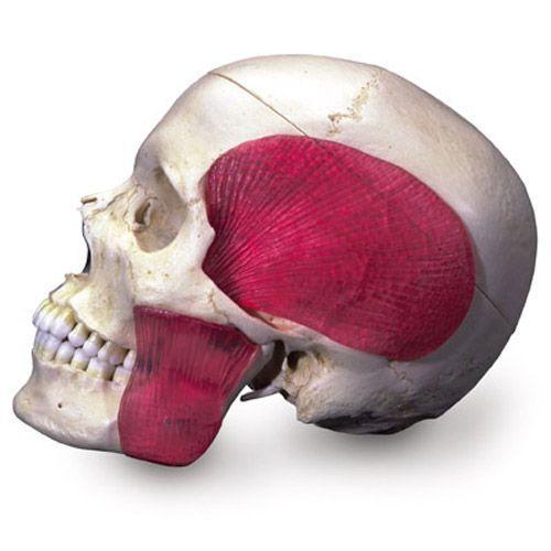 Model czaszki łączonej przezroczysto/kostnej (BONElike™ ) A282