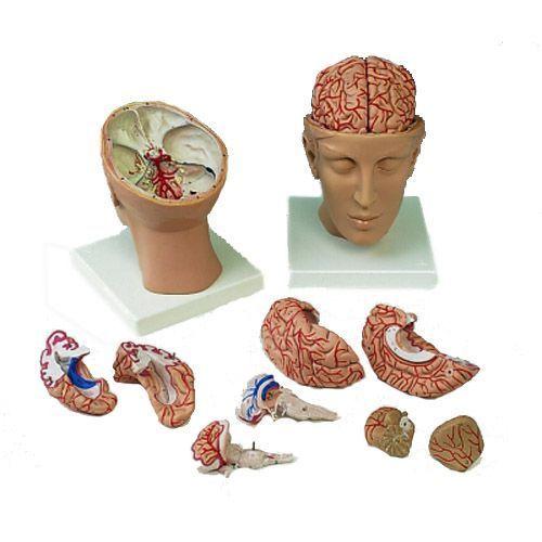 Model głowy z mózgiem C25