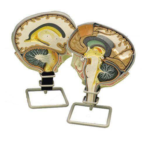 Model przekroju mózgu z cięciem strzałkowym W19026