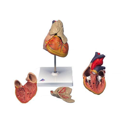 Klasyczny model serca z grasicą G08/1