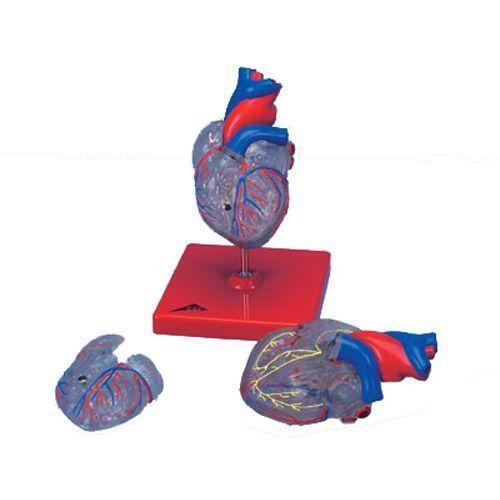 Model serca z układem bodźcotwórczo-przewodzącym G08/3