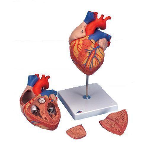 Powiększony x 2 model serca G12
