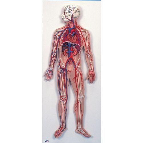 Układ krwionośny G30