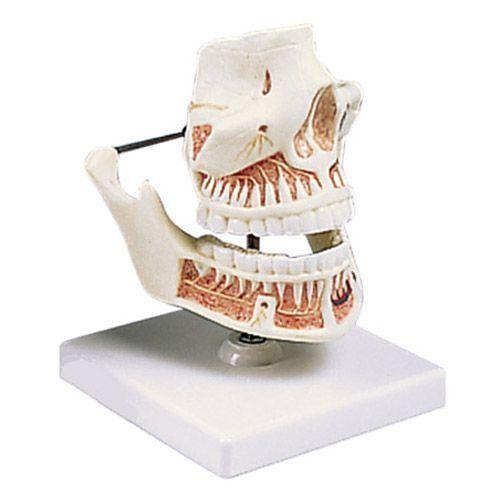 Model żuchwy i szczęki z zębami VE281