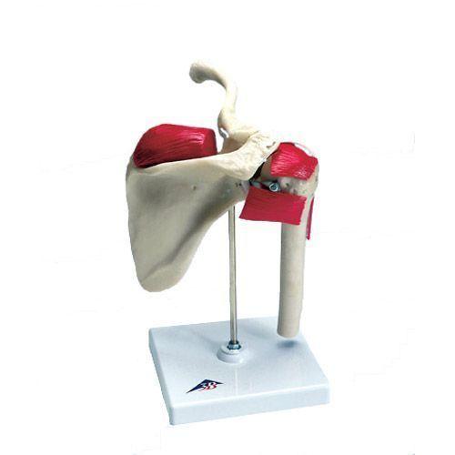 Anatomiczny model ramion sportowców W47002