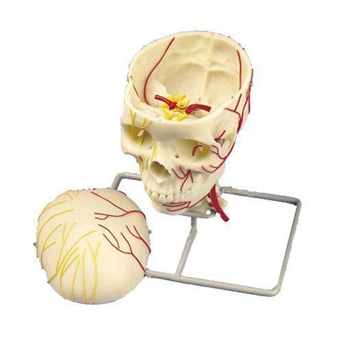 Model naczyniowy czaszki W19018