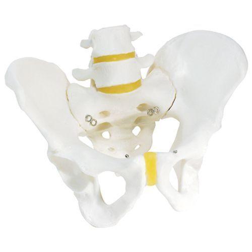 Model szkieletu męskiej miednicy A60