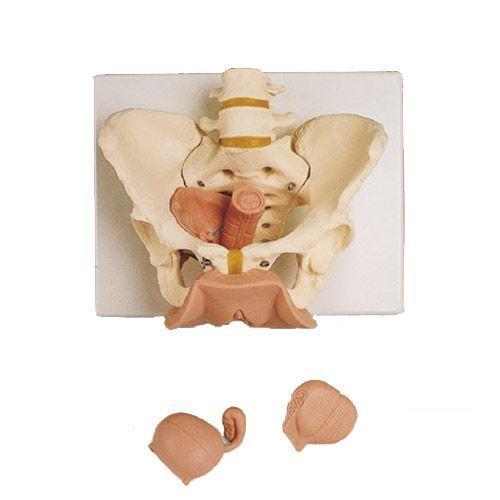 3-częściowy model żeńskiej miednicy z narządami płciowymi