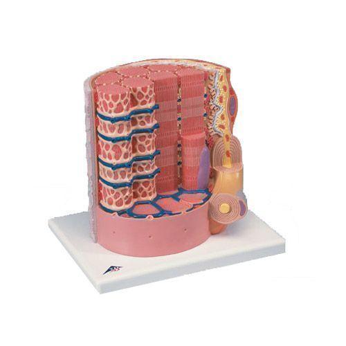 3B MIKROanatomia - włókna mięśniowe, powiększone 10000 razy, B60