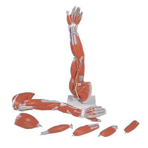 6-częściowy model mięśni ręki, 3/4 naturalnej wielkości M10