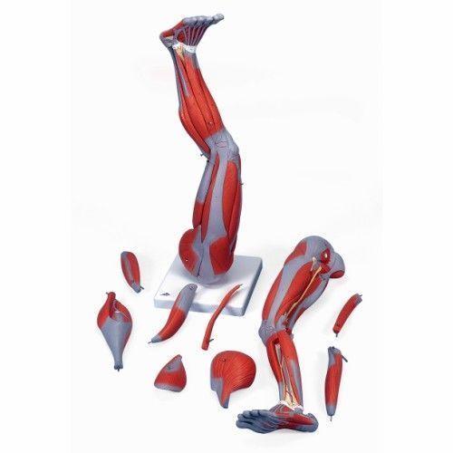 9-częściowy model mięśni nogi 3/4 naturalnej wielkości M20