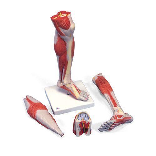 3-częściowy model mięśni podudzia z demontowanym kolanem M22