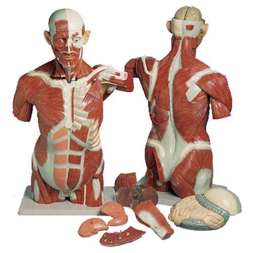 Tors mięśniowy 27 części VA16