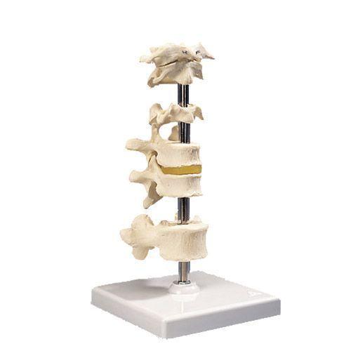 Model 6 kości kręgowych A75