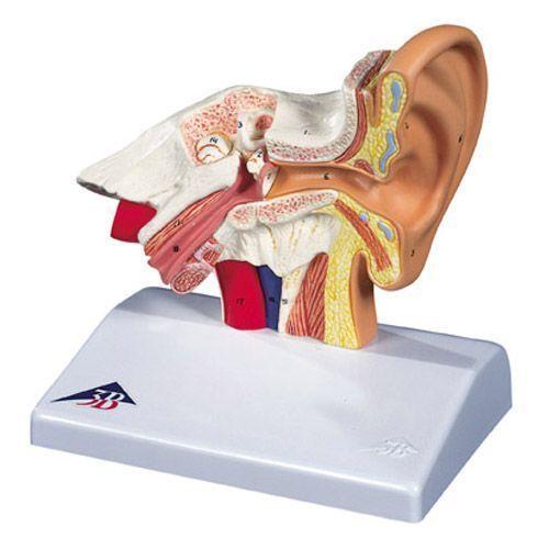 Biurkowy model ucha, 1,5 krotnie powiększony E12