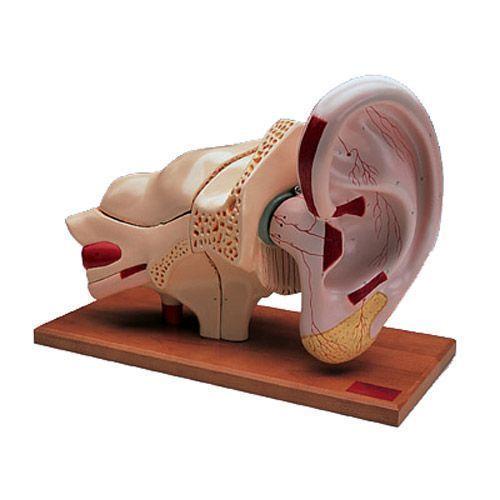 Model ucha powiększony 5-krotnie, 8 części W42514