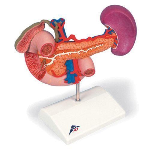 Model tylnich organów górnego brzucha K22/2