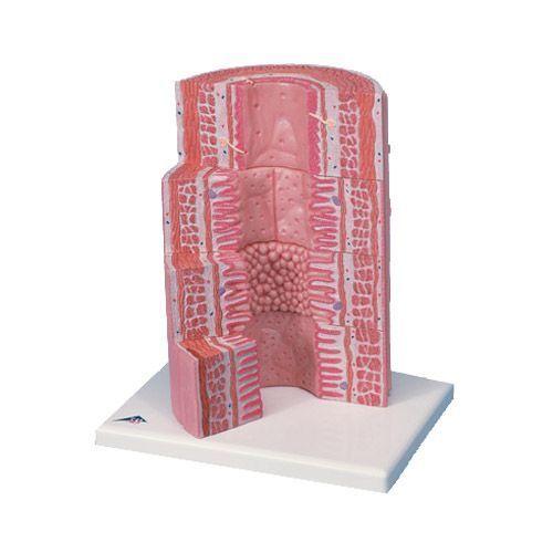 Model 3D MICROanatomy: Układ pokarmowy, Powiększony 20 razy K23