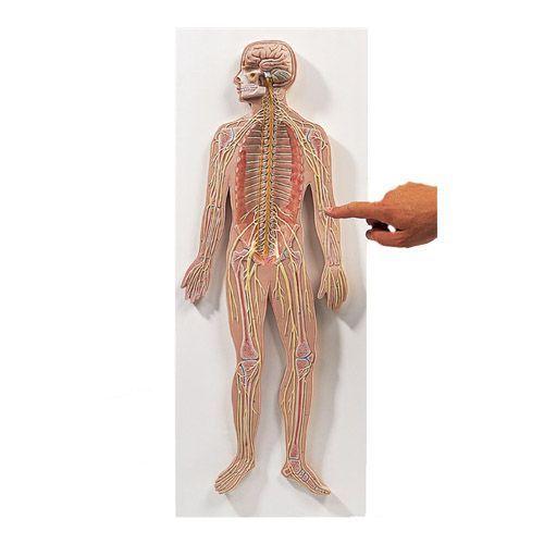 Model systemu nerwowego, 1/2 naturalnej wielkości, C30