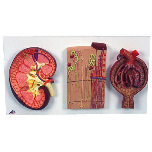 Anatomiczny model nerki z nefronami, naczyniami krwionośnymi i ciałkami nerkowymi - K11