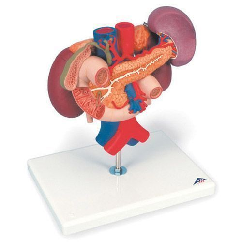 Nerki, górne narządy jamy brzusznej (tylnie organy), 3 części K22/3