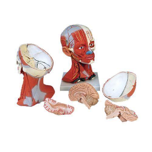 Model układu mięśniowego głowy i szyi, 5 części, C05