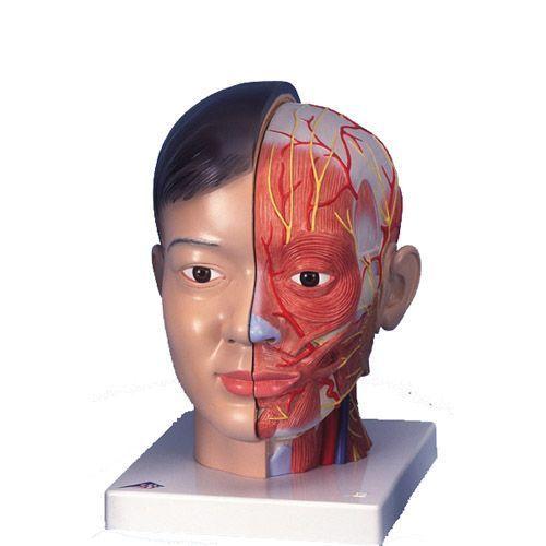 Anatomiczny model głowy z szyją (sylwetka azjatycka), 4-części, C06