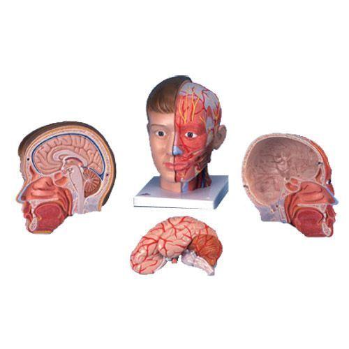 Anatomiczny model głowy z szyją, 4-części, C07