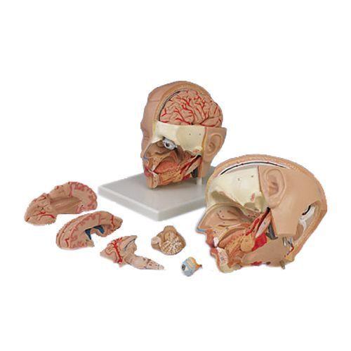 Anatomiczny model głowy, 6 części, C09/1