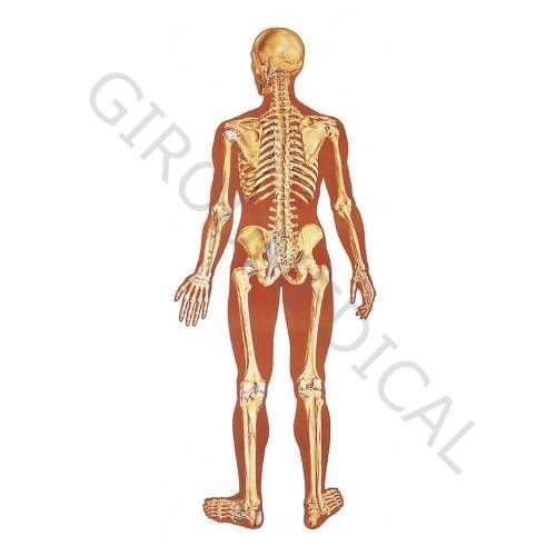 Plansza przedstawiająca tył szkieletu człowieka z wiązadłami, V2002U