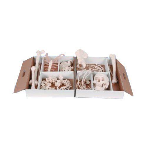 Składany model połowy ludzkiego szkieletu A04/1