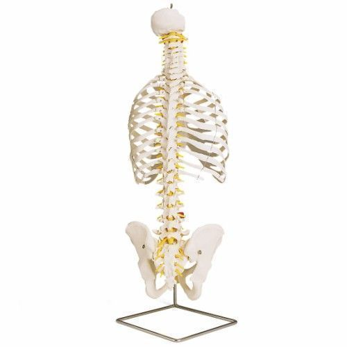 Klasyczny model elastycznego kręgosłupa z żebrami A56