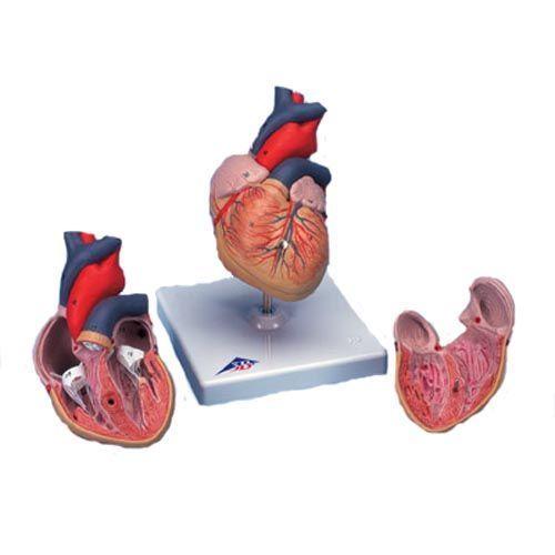 Klasyczny model serca, 2 części G08