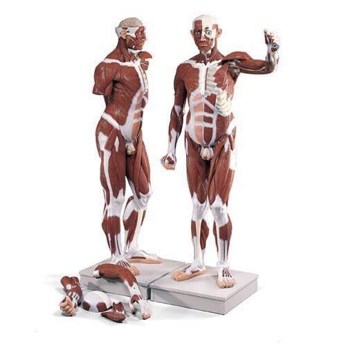 Męski model mięśniowy naturalnej wielkości, 37 - części, VA01