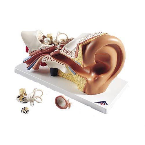Model ucha, 3x powiększenie, 4 części E10