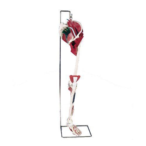 Luksusowy model nogi W47006