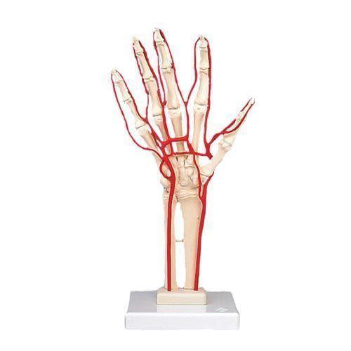 Szkielet dłoni z tętnicami,  M17