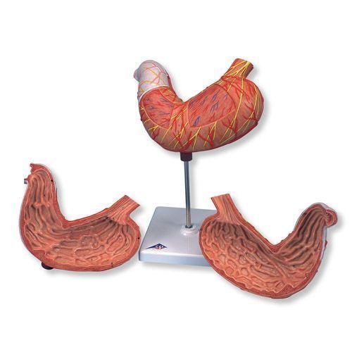 Model żołądka, 2 częściowy, K15