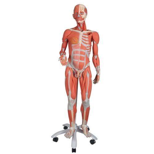 Dwupłciowy model mięśniowy Delux 3/4 naturalnej wielkości, 45-części, B50