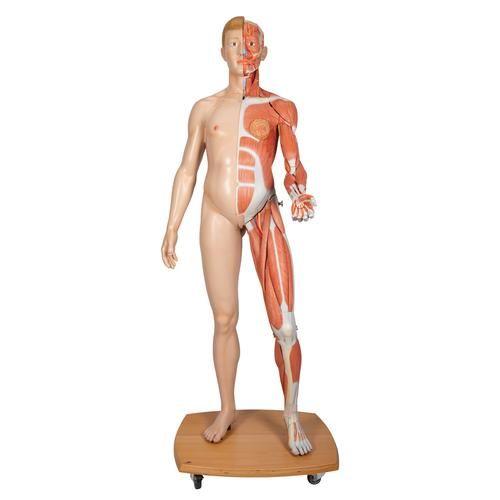 Dwupłciowy model mięśni ludzkiego ciała  B53